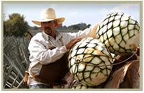 tequila worker